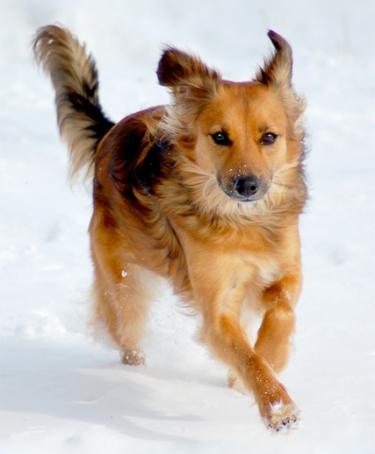 sandy1  Dachshund Sheltie Mix Puppies