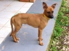 thumbs seda2 Seda the Boxer Mix from Costa Rica