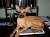 thumbs seda3 Seda the Boxer Mix from Costa Rica