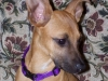 thumbs seda4 Seda the Boxer Mix from Costa Rica
