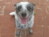thumbs sister1 Sister the Cattle Dog Mix from Arizona