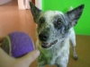 thumbs sister4 Sister the Cattle Dog Mix from Arizona