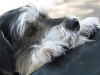 thumbs snoopy2 2 Snoopy the Schnauzer Mix from Vancouver
