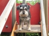 thumbs snoopy5 2 Snoopy the Schnauzer Mix from Vancouver