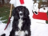 thumbs snoopy1 Snoopy is a collie mix from Martinsburg, Pennsylvania