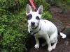thumbs thea2 Thea the Cattle Dog Mix from Oregon