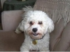 thumbs tucker4 2 Tucker the Bichon Mix from Canada