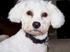 thumbs tucker6 2 Tucker the Bichon Mix from Canada