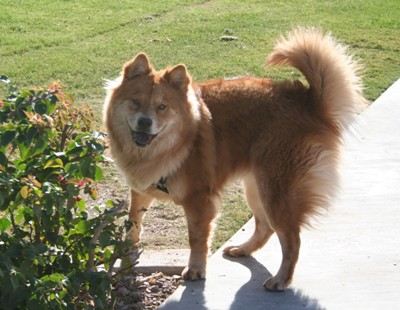 Chow Chow and German Shepherd Mix - The Complete Chow Shepherd Guide